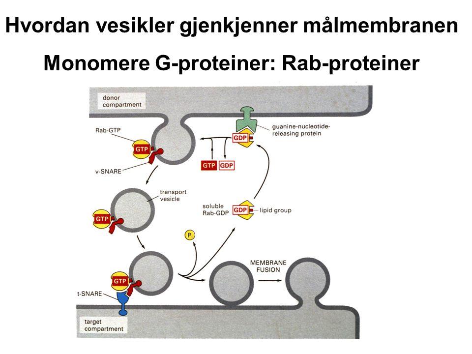 Hvordan vesikler gjenkjenner målmembranen