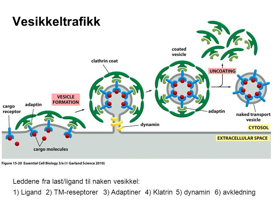 Vesikkeltrafikk Leddene fra last/ligand til naken vesikkel: 1) Ligand