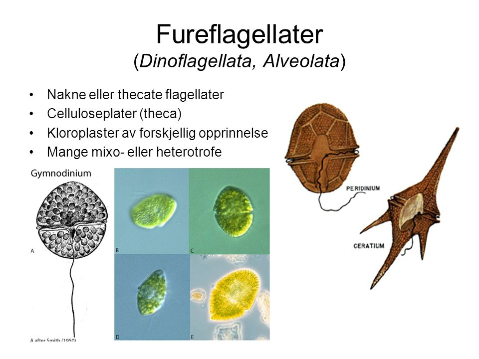 Fureflagellater (Dinoflagellata, Alveolata)