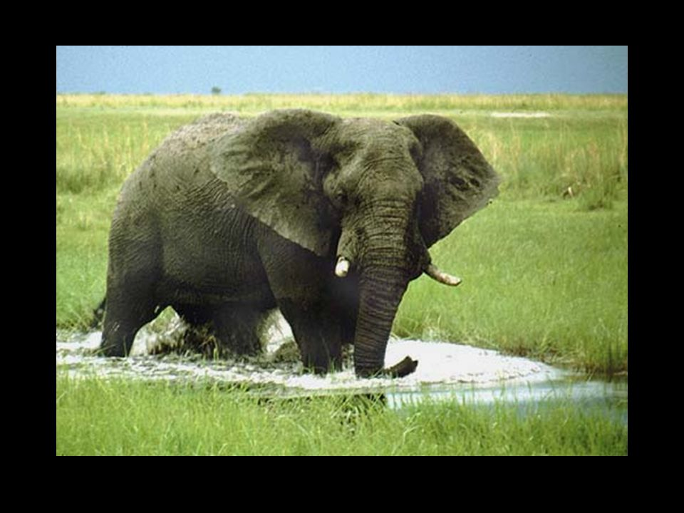 Hvorfor har elefanten så store ører