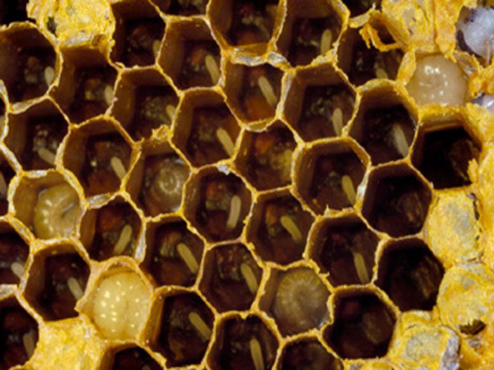 Bikuber kjennetegnes ved sine seks-kantede mønstre