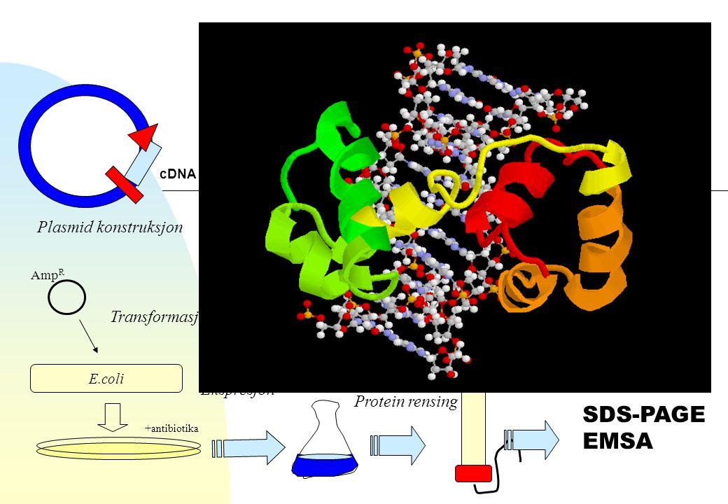 SDS-PAGE EMSA Plasmid konstruksjon Transformasjon Ekspresjon