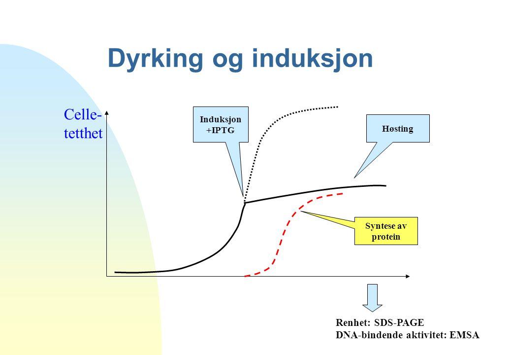 Dyrking og induksjon Celle- tetthet Renhet: SDS-PAGE