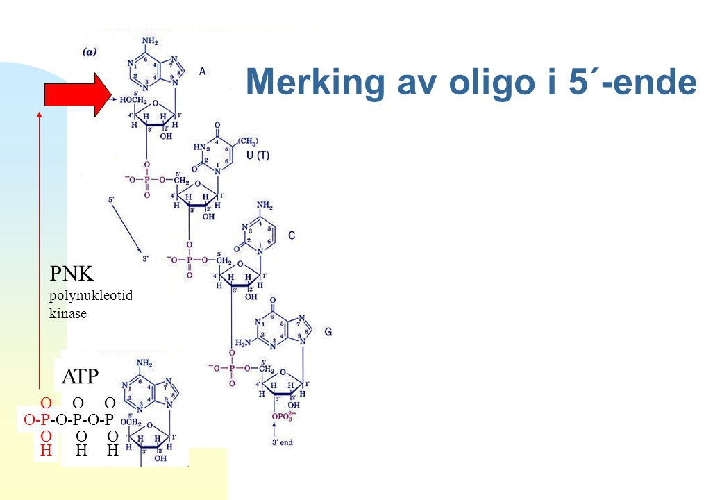 Merking av oligo i 5´-ende