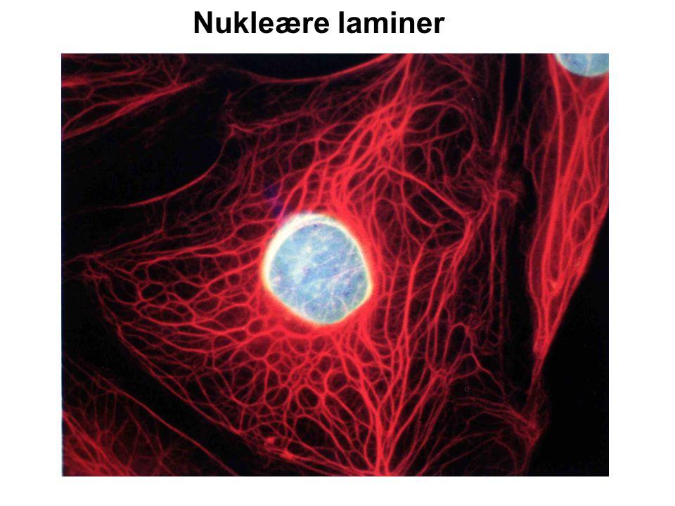 Nukleære laminer