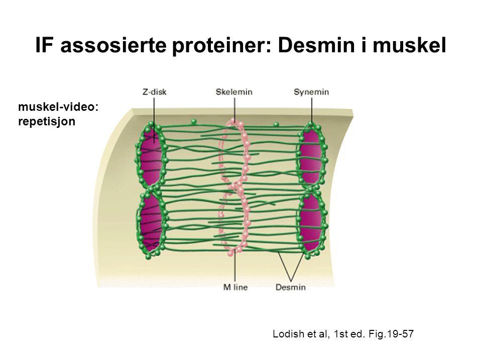 IF assosierte proteiner: Desmin i muskel