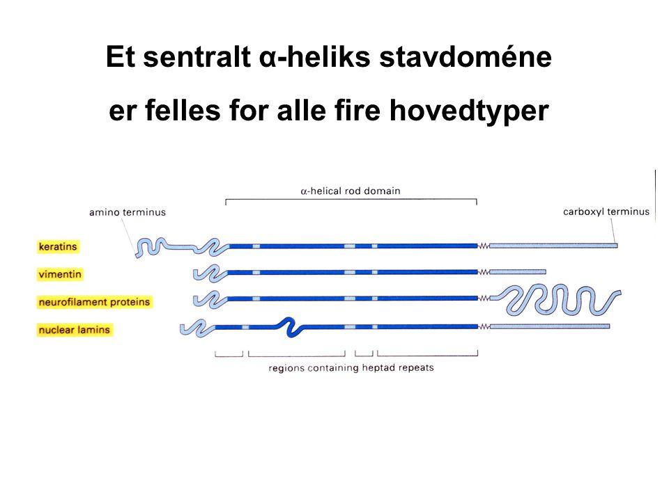 Et sentralt α-heliks stavdoméne er felles for alle fire hovedtyper