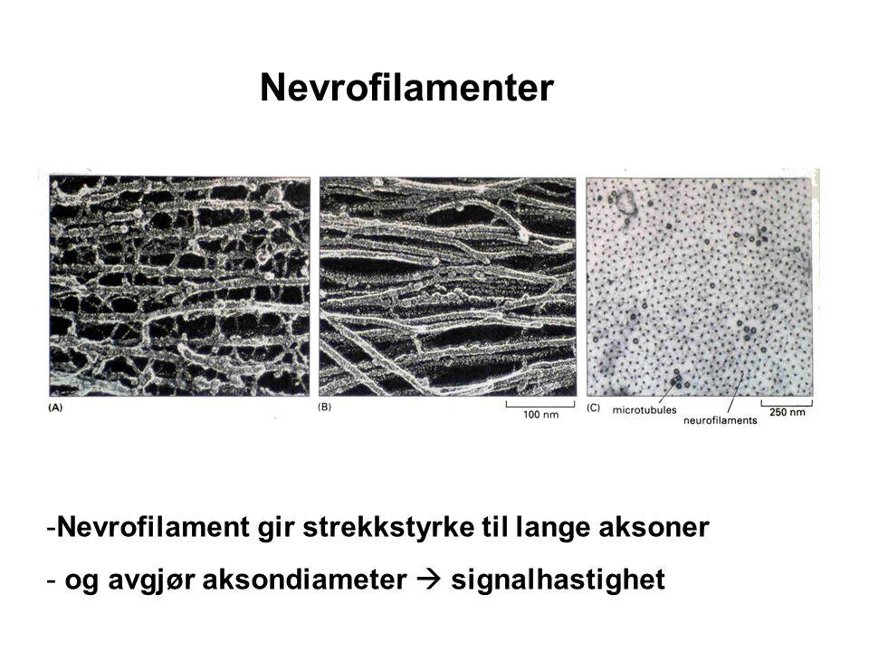 Nevrofilamenter Nevrofilament gir strekkstyrke til lange aksoner
