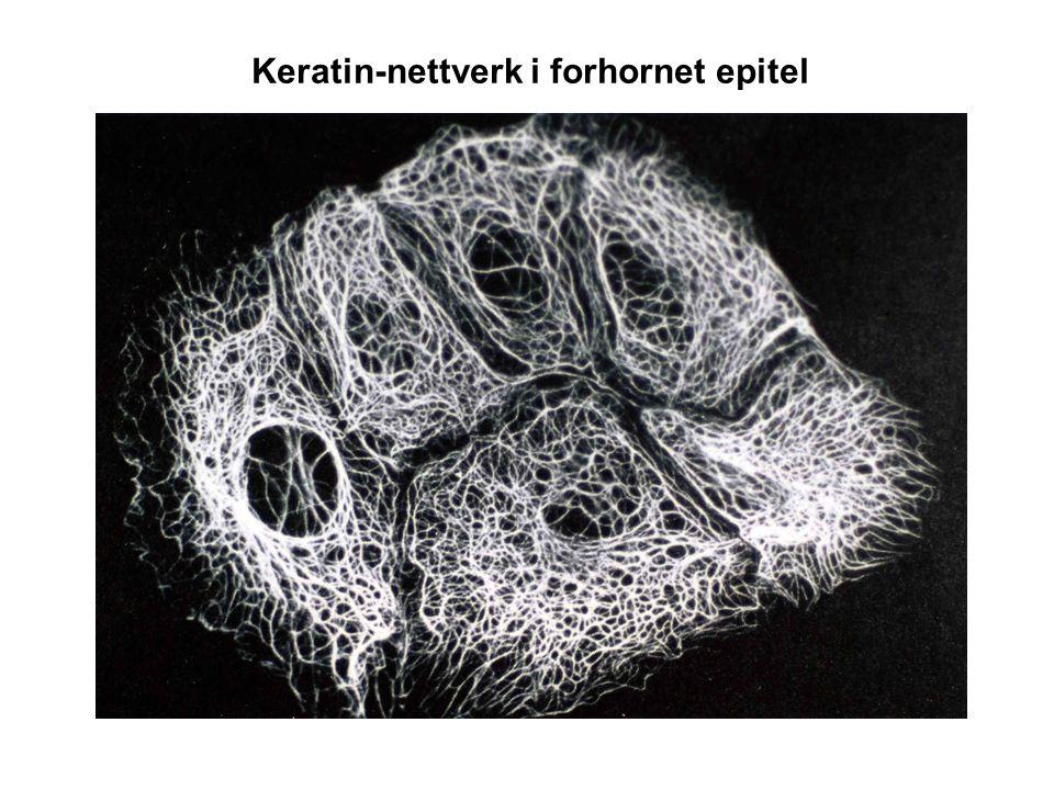 Keratin-nettverk i forhornet epitel