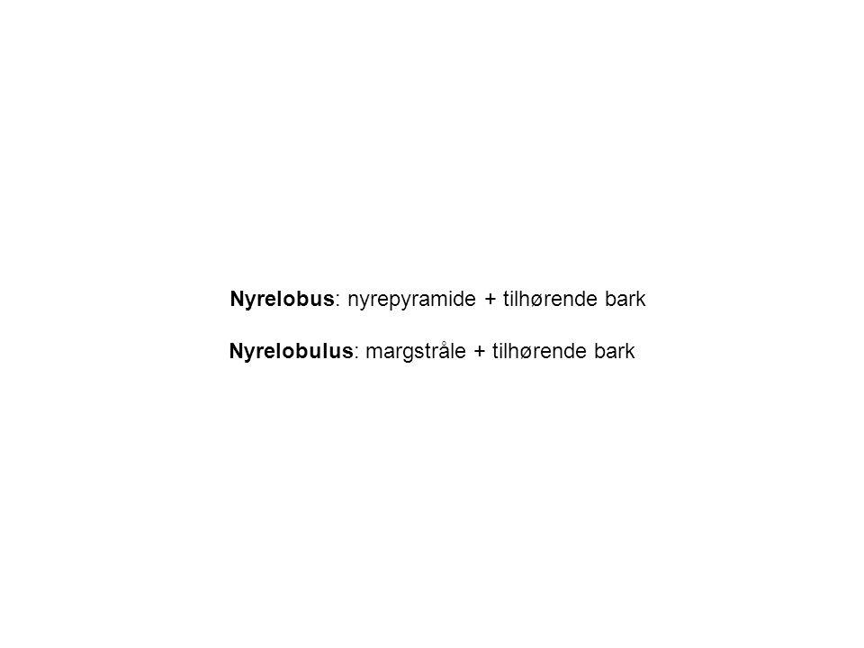 Nyrelobus: nyrepyramide + tilhørende bark