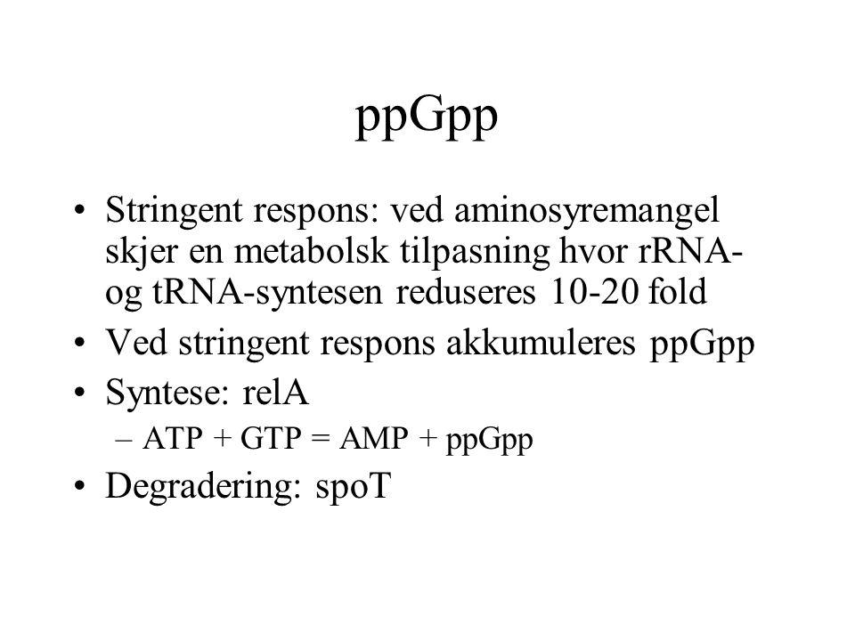 ppGpp Stringent respons: ved aminosyremangel skjer en metabolsk tilpasning hvor rRNA- og tRNA-syntesen reduseres 10-20 fold.