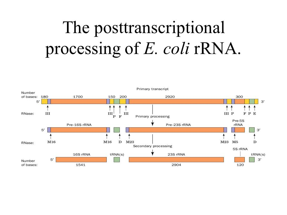 The posttranscriptional processing of E. coli rRNA.