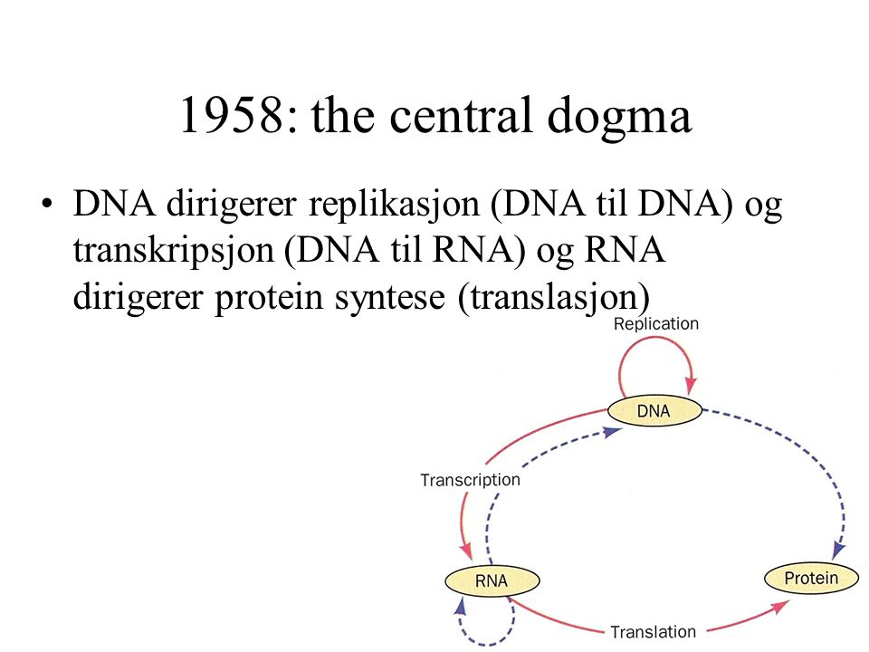 1958: the central dogma DNA dirigerer replikasjon (DNA til DNA) og transkripsjon (DNA til RNA) og RNA dirigerer protein syntese (translasjon)