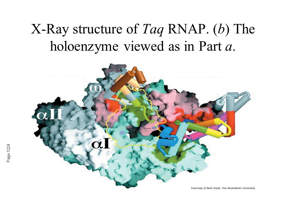 X-Ray structure of Taq RNAP. (b) The holoenzyme viewed as in Part a.