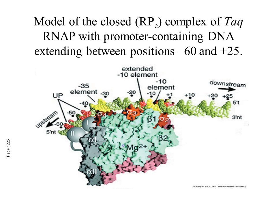 Model of the closed (RPc) complex of Taq RNAP with promoter-containing DNA extending between positions –60 and +25.
