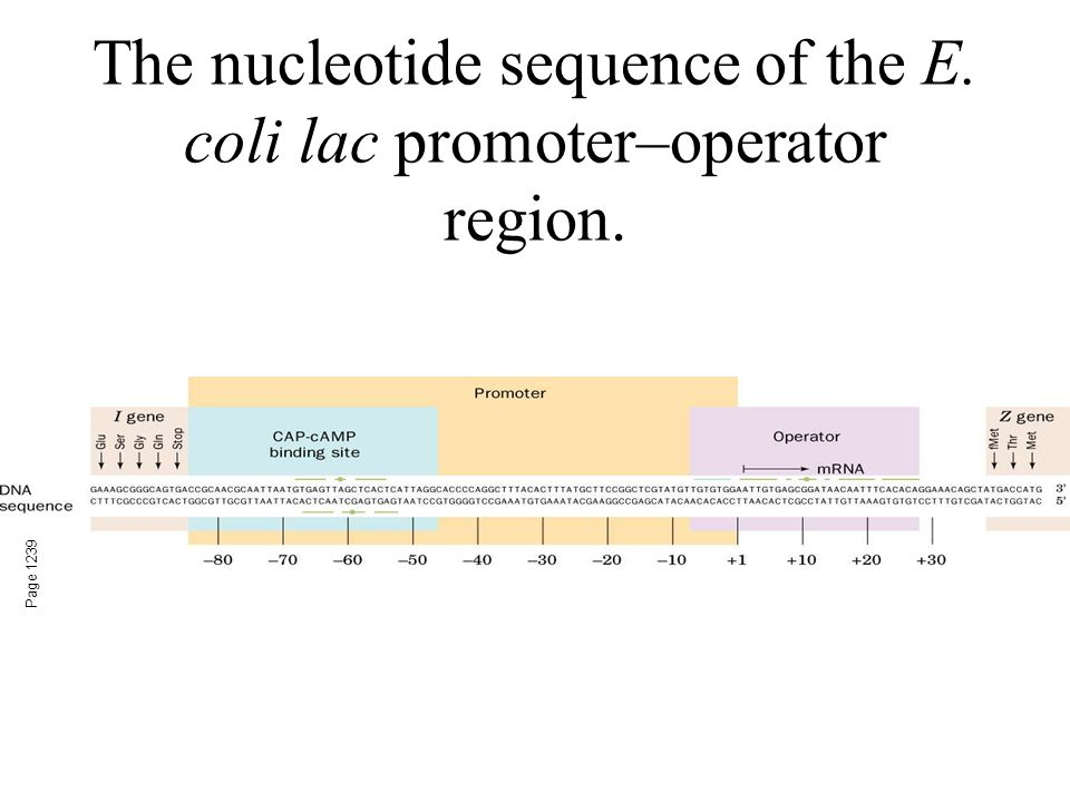 The nucleotide sequence of the E. coli lac promoter–operator region.