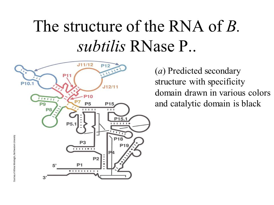 The structure of the RNA of B. subtilis RNase P..