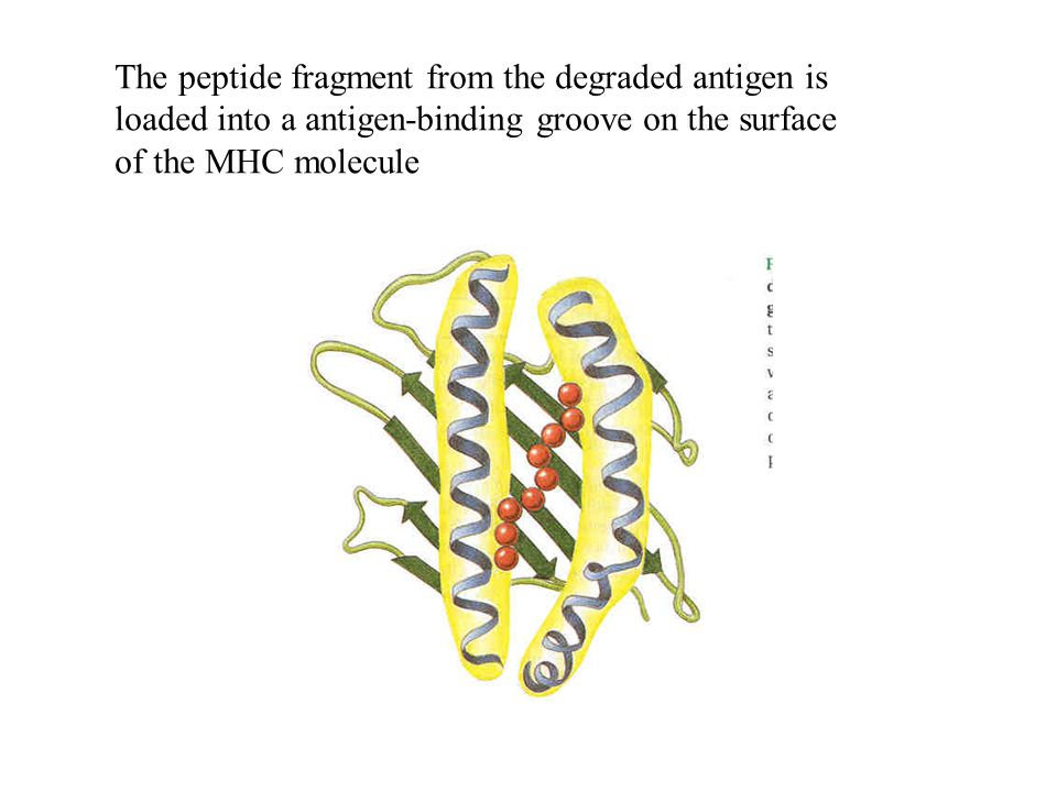 The peptide fragment from the degraded antigen is