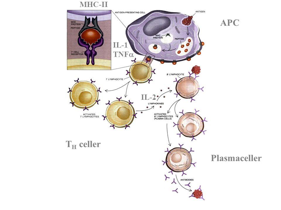MHC-II APC IL-1 TNF IL-2 TH celler Plasmaceller