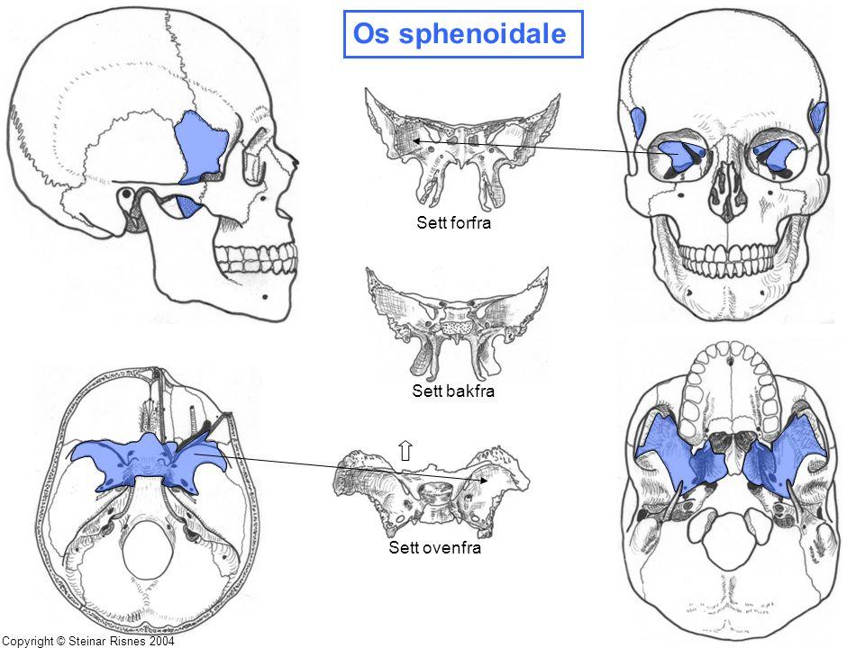 Os sphenoidale Sett forfra Sett bakfra Sett ovenfra