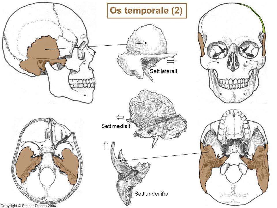 Os temporale (2) Sett lateralt Sett medialt Sett under ifra