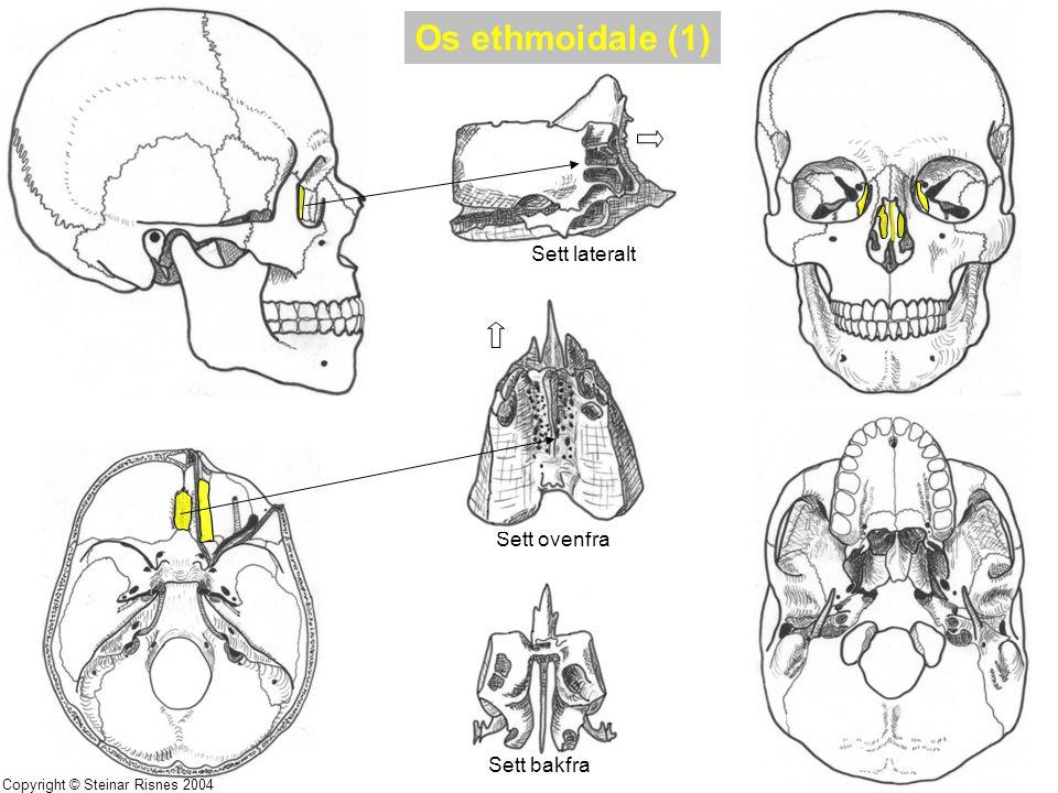 Os ethmoidale (1) Sett lateralt Sett ovenfra Sett bakfra