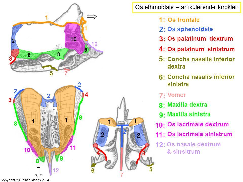 Os ethmoidale – artikulerende knokler