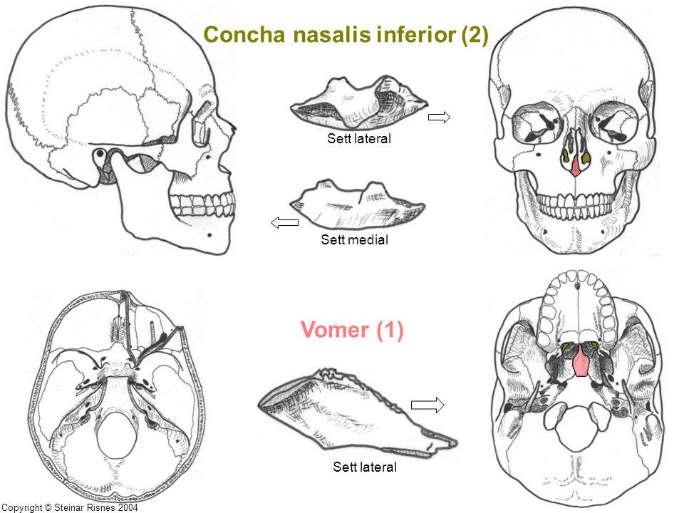 Concha nasalis inferior (2)