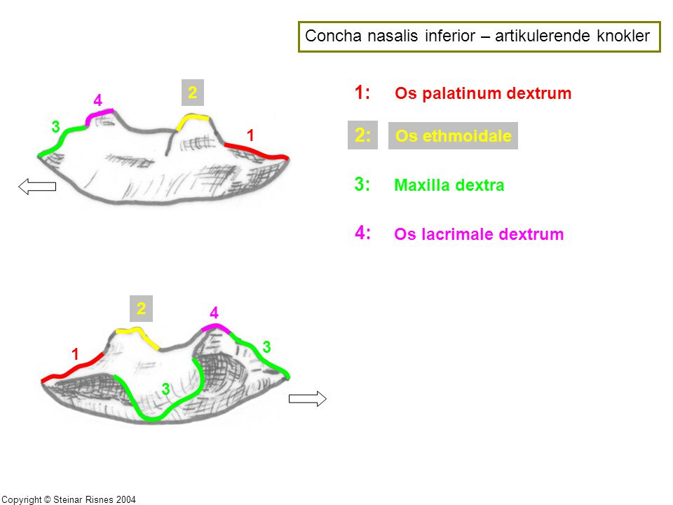 1: 2: 3: 4: Concha nasalis inferior – artikulerende knokler 2