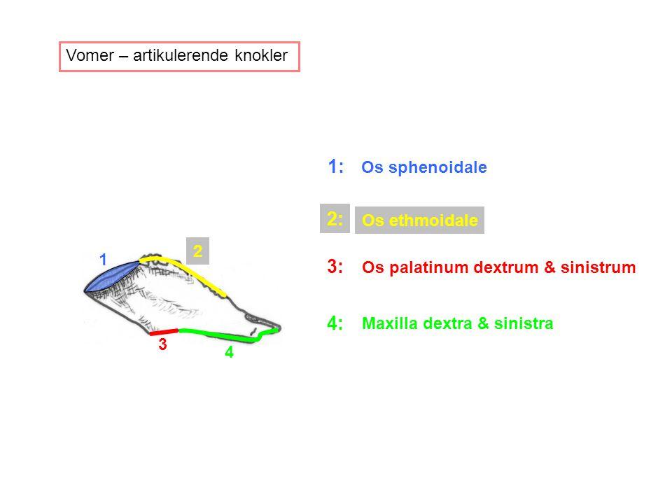 1: 2: 3: 4: Vomer – artikulerende knokler Os sphenoidale Os ethmoidale