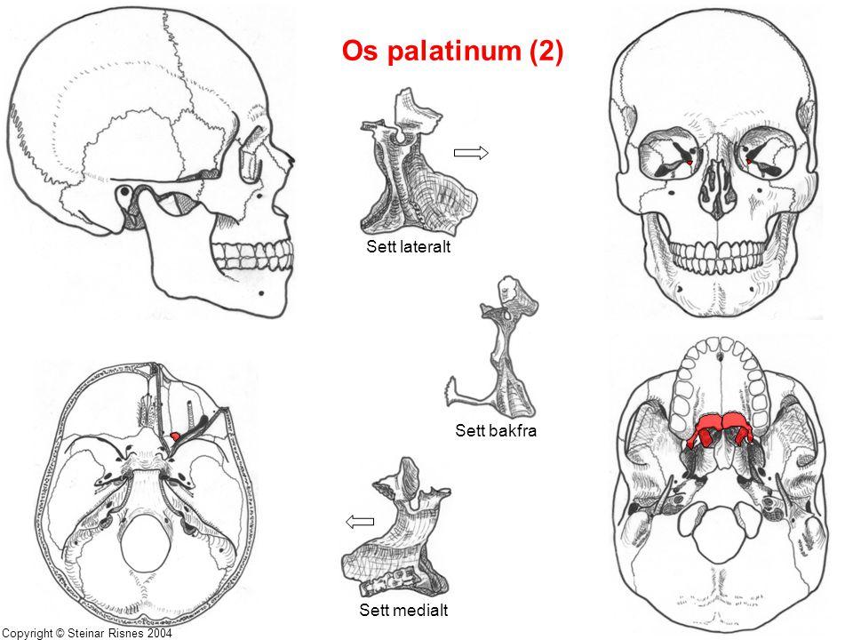 Os palatinum (2) Sett lateralt Sett bakfra Sett medialt