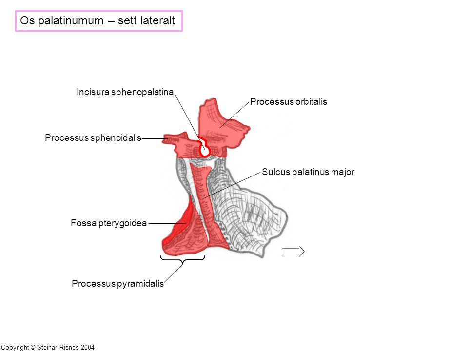 Os palatinumum – sett lateralt