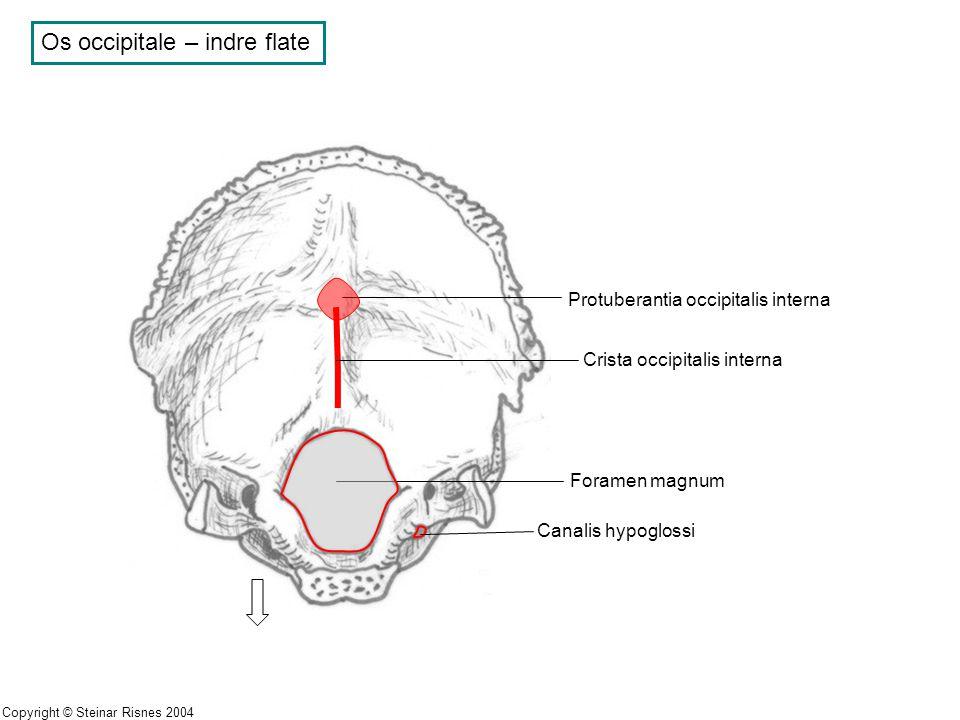 Os occipitale – indre flate
