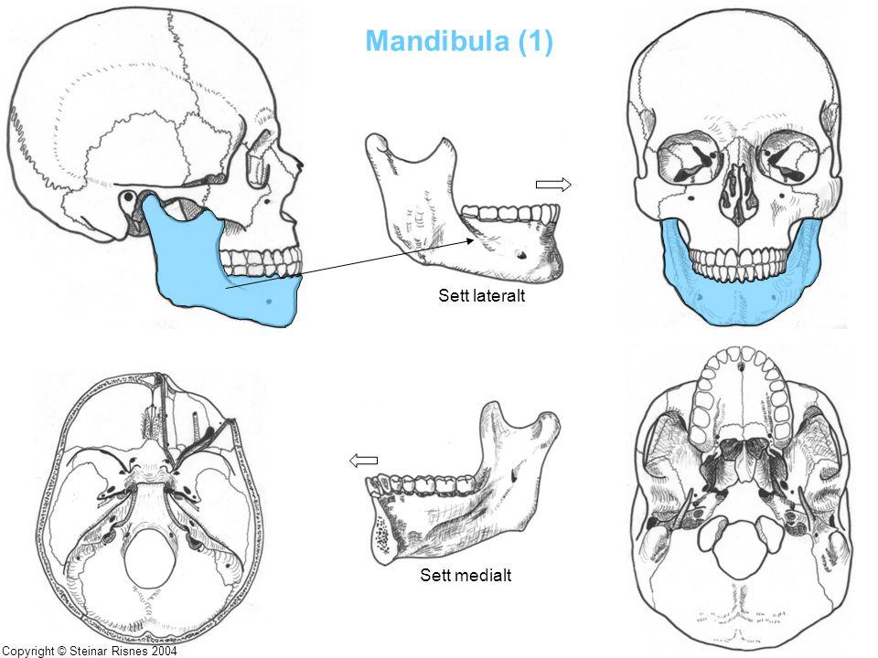 Mandibula (1) Sett lateralt Sett medialt