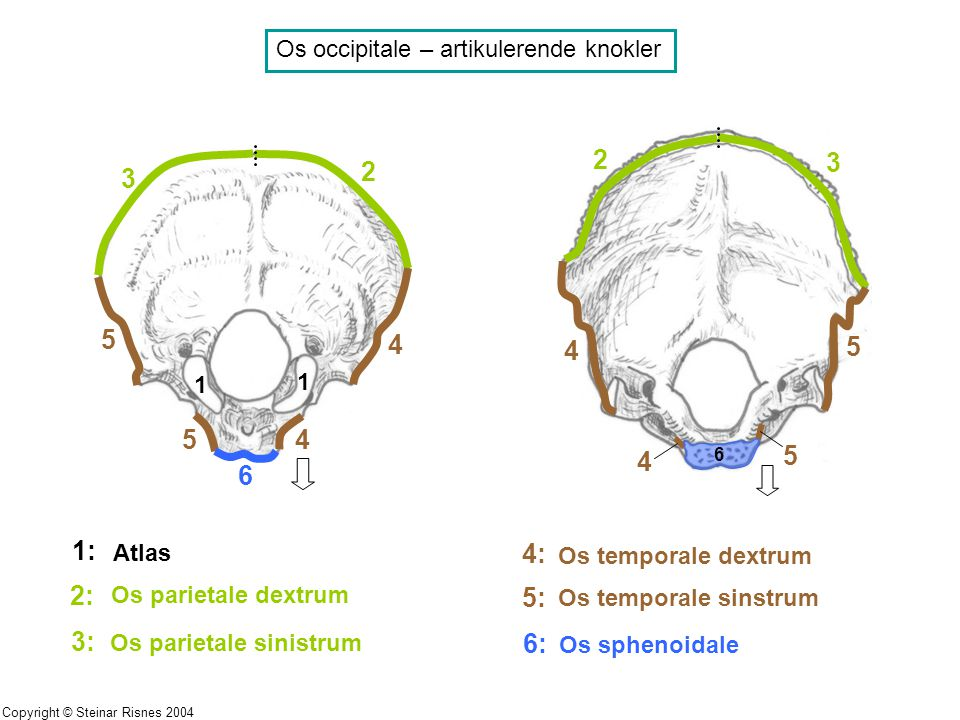Os occipitale – artikulerende knokler