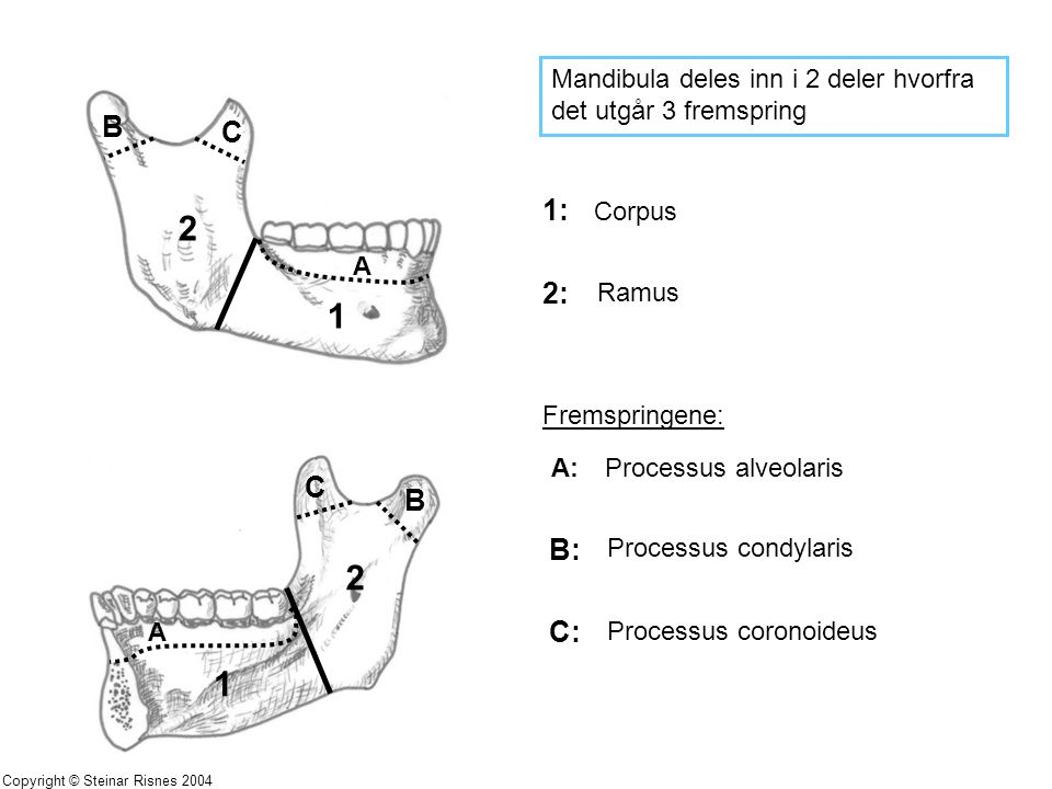 Mandibula deles inn i 2 deler hvorfra det utgår 3 fremspring