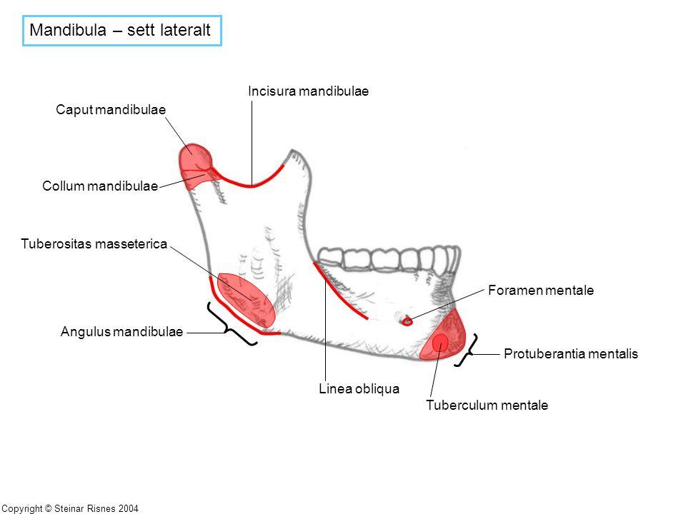 Mandibula – sett lateralt