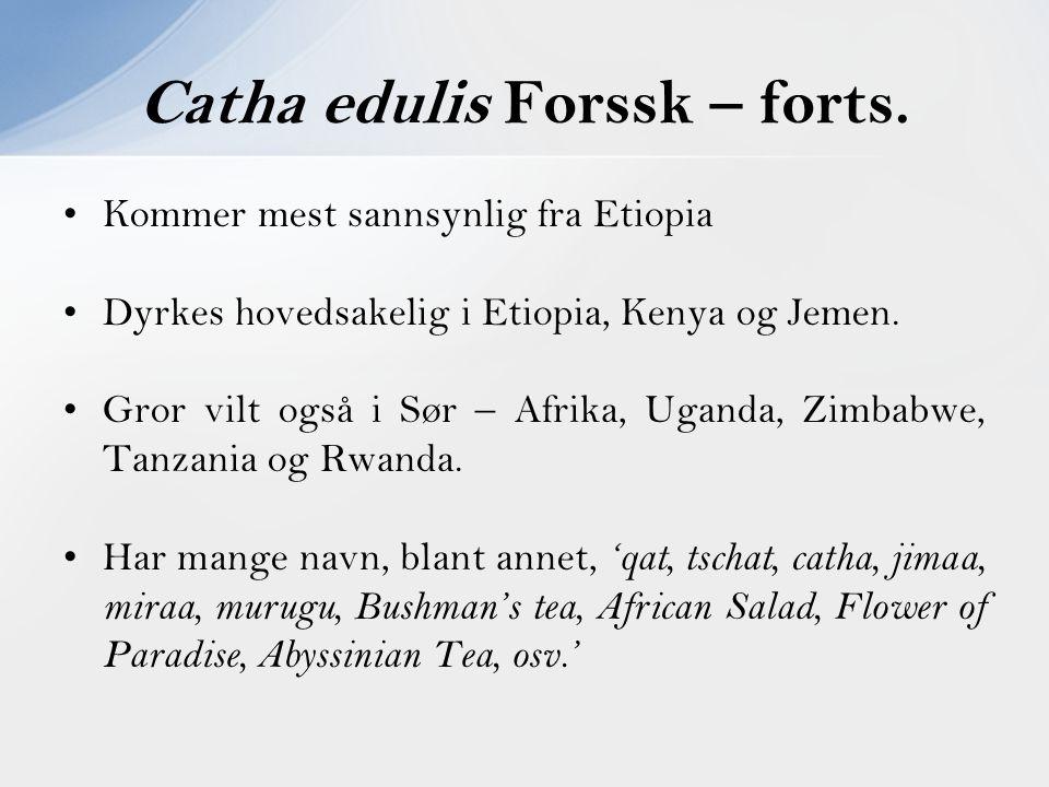Catha edulis Forssk – forts.
