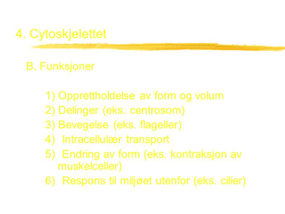 4. Cytoskjelettet B. Funksjoner 1) Opprettholdelse av form og volum