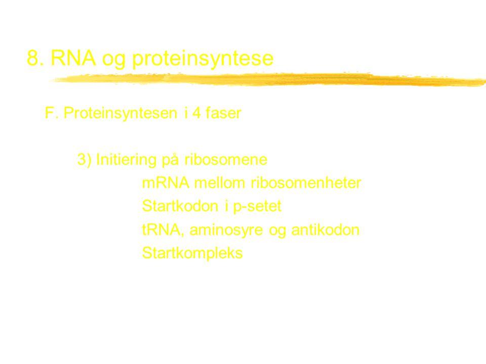 8. RNA og proteinsyntese F. Proteinsyntesen i 4 faser