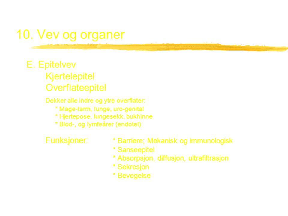 10. Vev og organer E. Epitelvev Kjertelepitel Overflateepitel