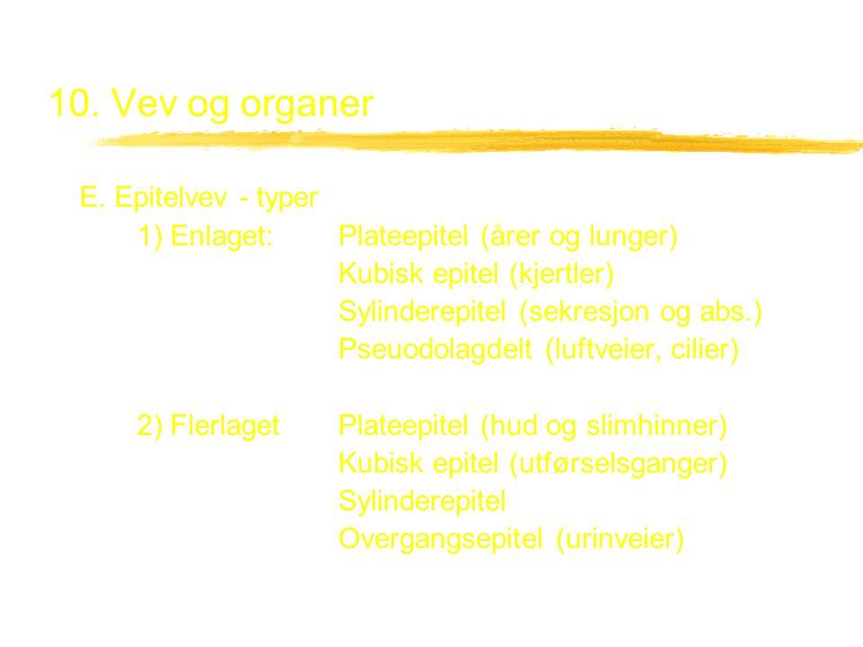 10. Vev og organer E. Epitelvev - typer