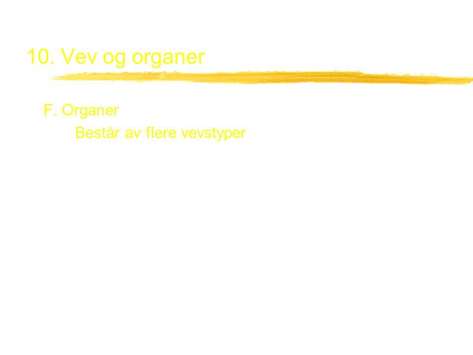 10. Vev og organer F. Organer Består av flere vevstyper