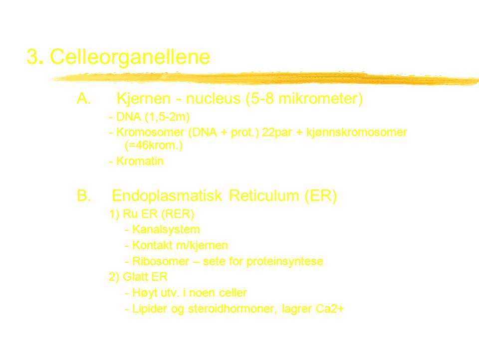 3. Celleorganellene A. Kjernen - nucleus (5-8 mikrometer)