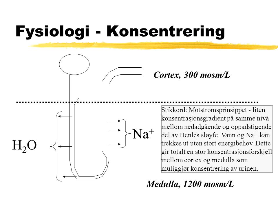 Fysiologi - Konsentrering