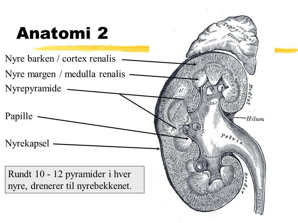 Anatomi 2 Nyre barken / cortex renalis Nyre margen / medulla renalis