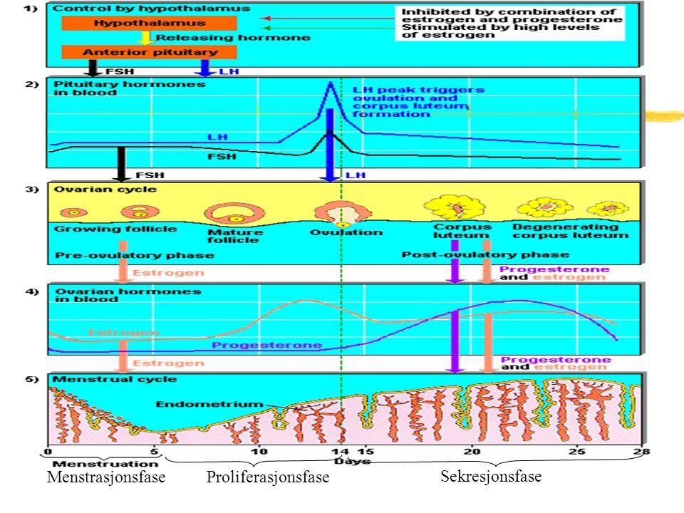 Menstrasjonsfase Proliferasjonsfase Sekresjonsfase