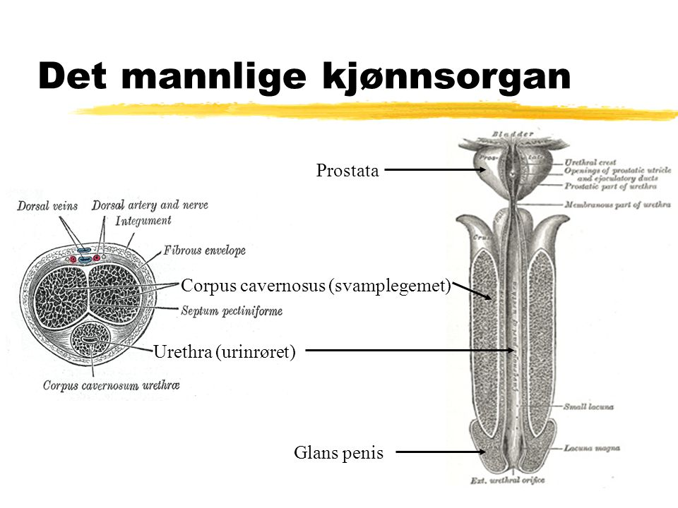 Det mannlige kjønnsorgan