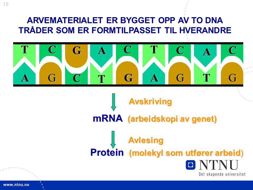T A C G mRNA (arbeidskopi av genet)