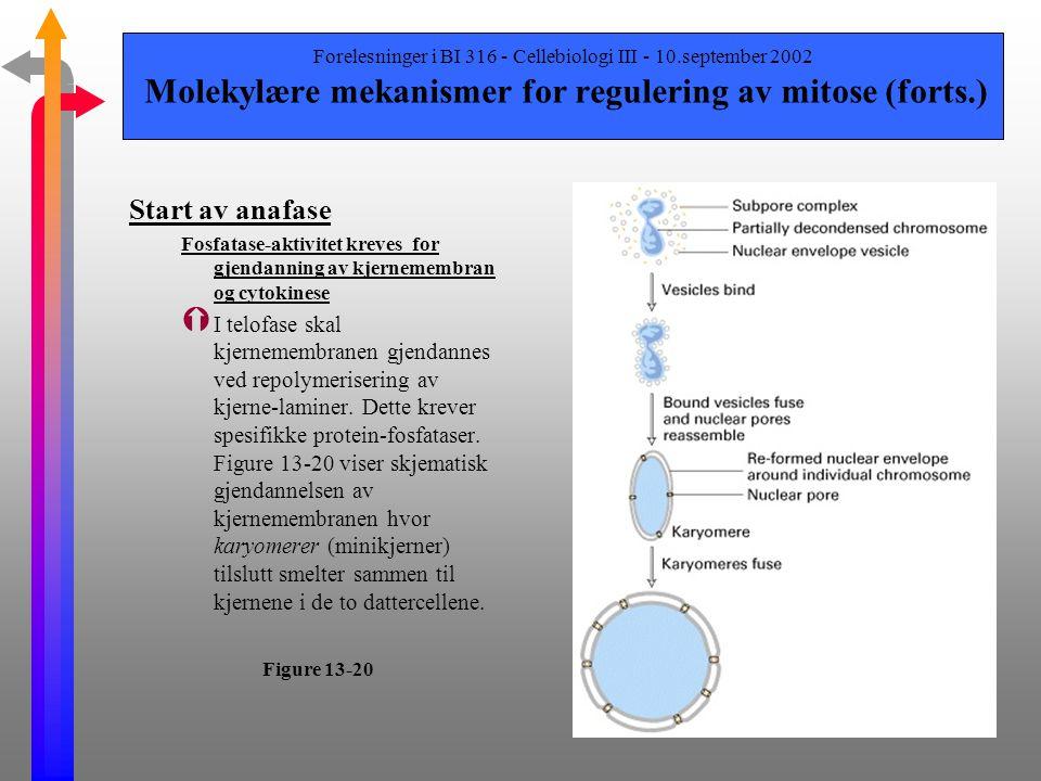 Forelesninger i BI 316 - Cellebiologi III - 10